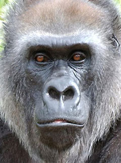 Marie Claire news: Western Gorilla now on critically endangered list