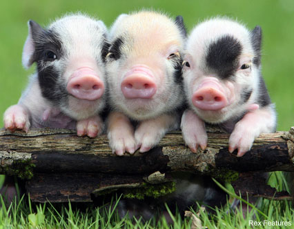 Micro piglets - Celebrity News - Marie Claire