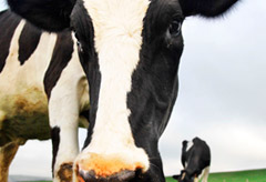 Genetically modified cows that produce human breast-milk