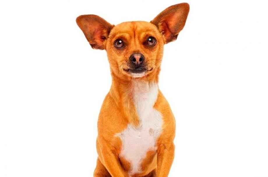 Beverly Hills Chihuahua 2 Papi Jr - - MTM