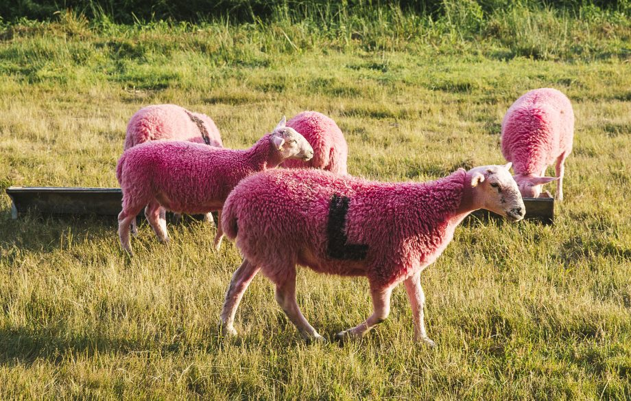 Petition launched to stop Latitude Festival from dyeing sheep pink